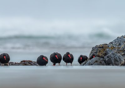 Black Oystercatcher_20161124_00303-Pano